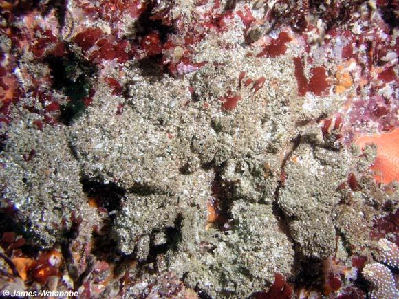Gammarid amphipods