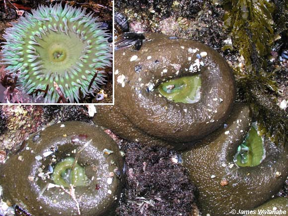 Anthopleura xanthogrammica