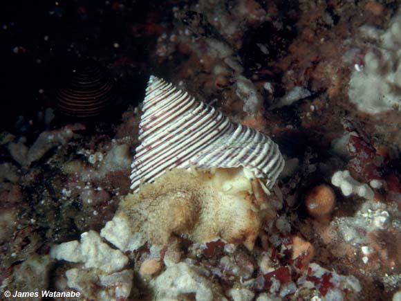 Calliostoma canaliculatum