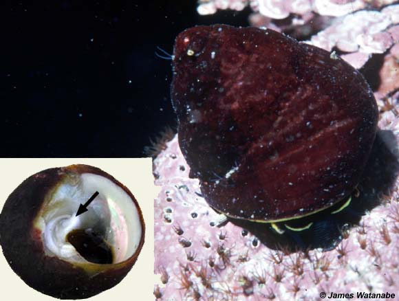 Chlorostoma brunnea