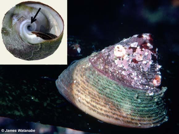 Chlorostoma montereyi