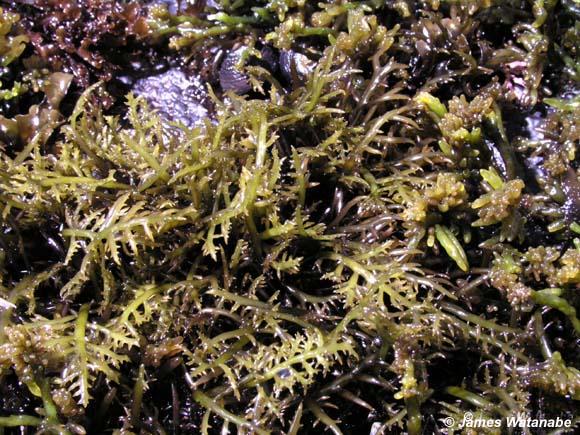 Chondracanthus canaliculatus