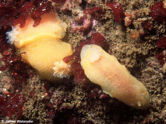 Doriopsilla albopunctata