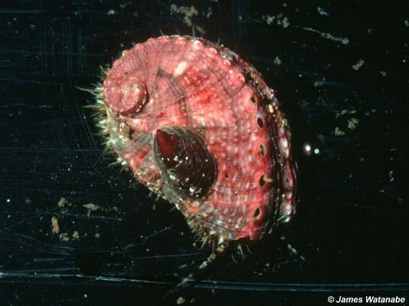 Haliotis walallensis