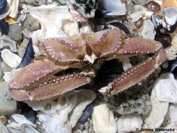 Heterocrypta occidentalis