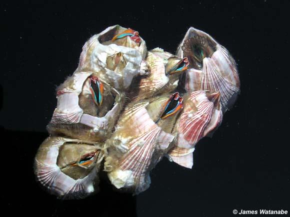 Megabalanus californicus