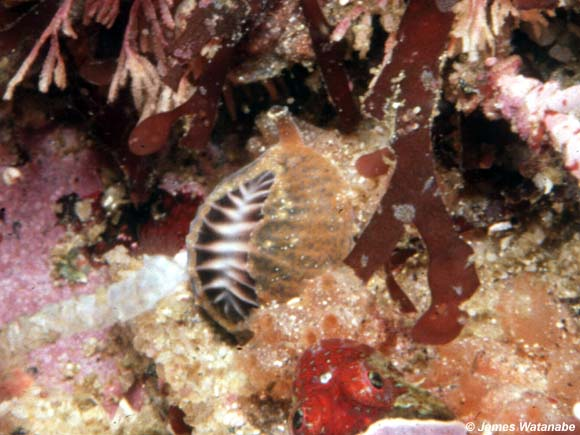 Pseudopusula californiana