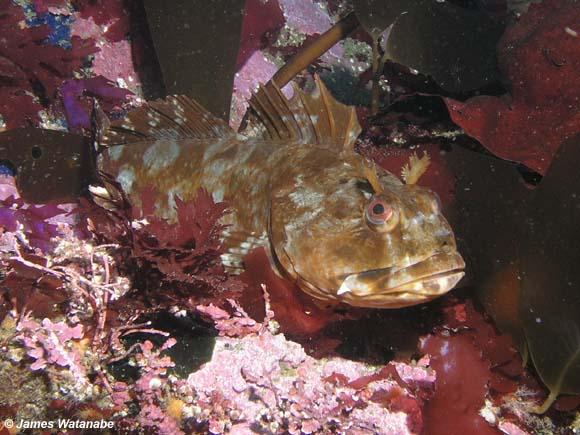 Scorpaenichthys marmoratus