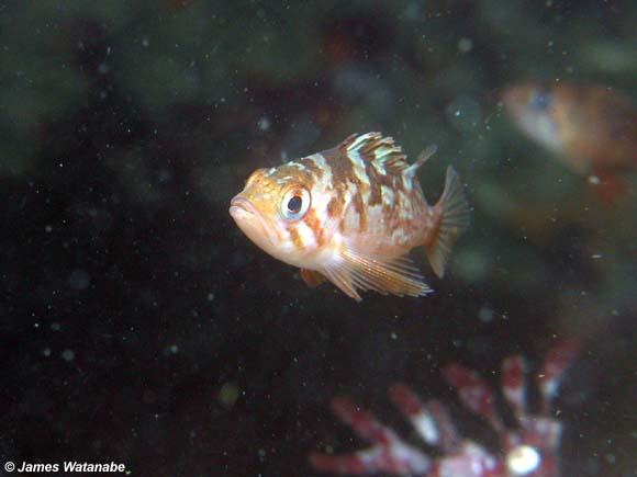 Juvenile Rockfish