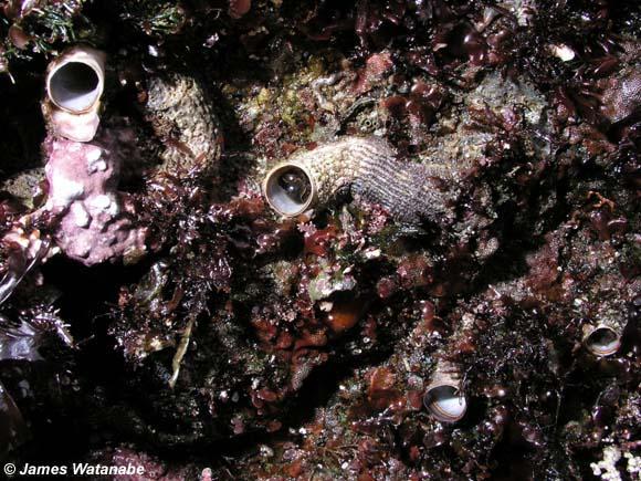 Serpulorbis squamigerus