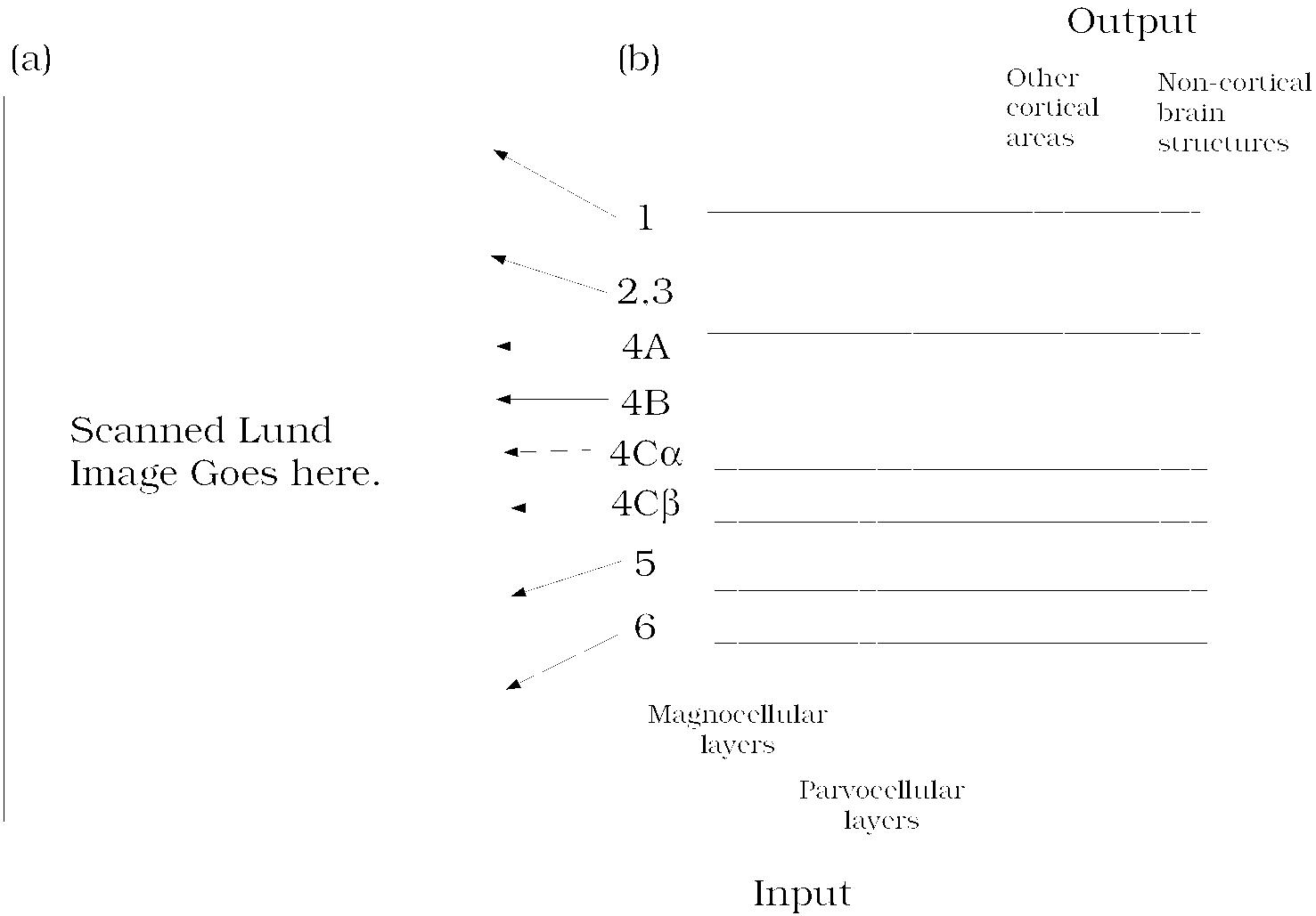 cortexLayersVisual Cortex Layers