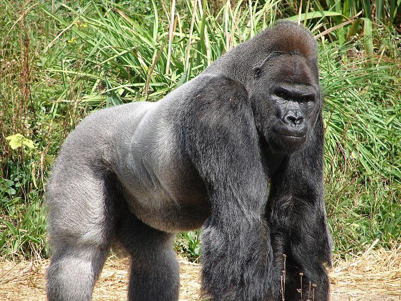 wild gorillas