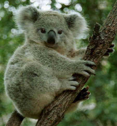 Bosan Bekerja Kantoran? Coba Jadi Penangkap Koala!