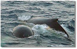 humpback whales in Antarctica