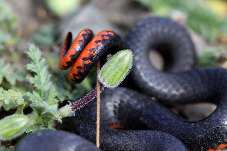 ring necked snake