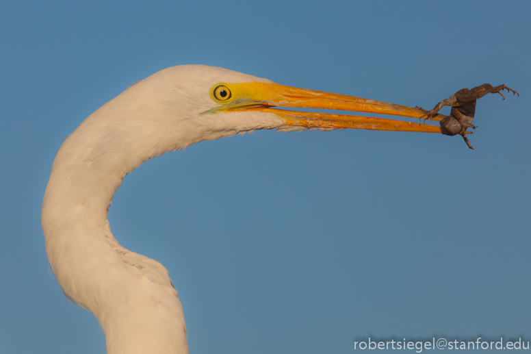 egret with lizard