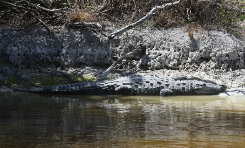 Crocodilians