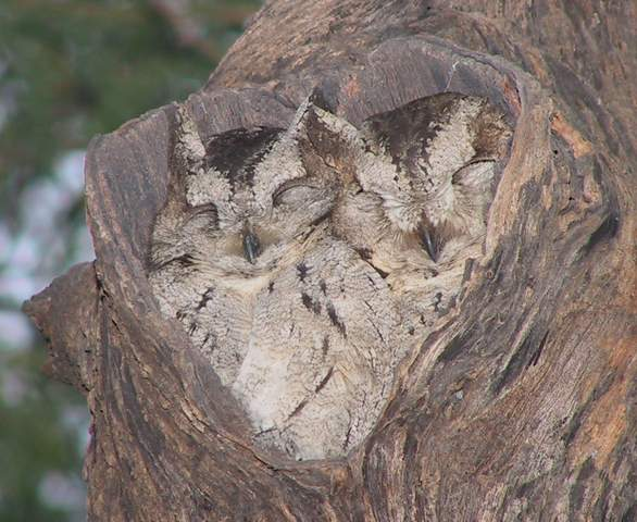 Happy Valentine's Day! Owls