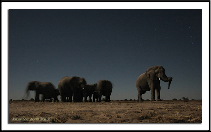 Elephants at Night, Photograph by Susan McConnell, All Rights Reserved