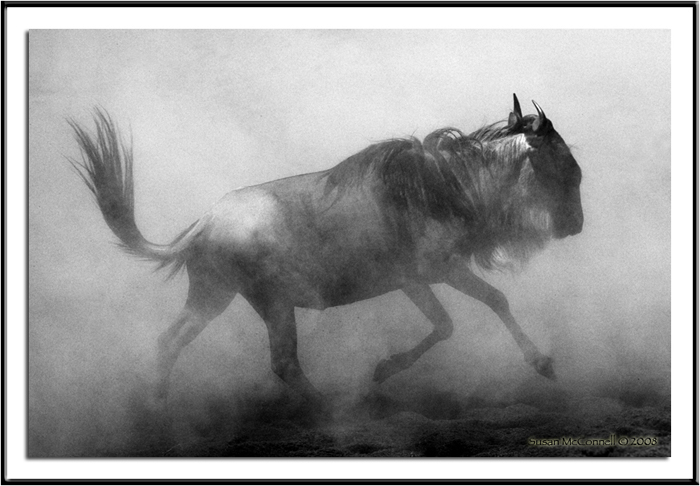 Wildebeest, Photograph by Susan McConnell, All Rights Reserved