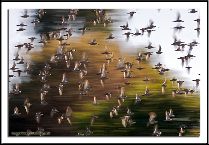 Dowitchers in Flight, Photograph by Susan McConnell, All Rights Reserved