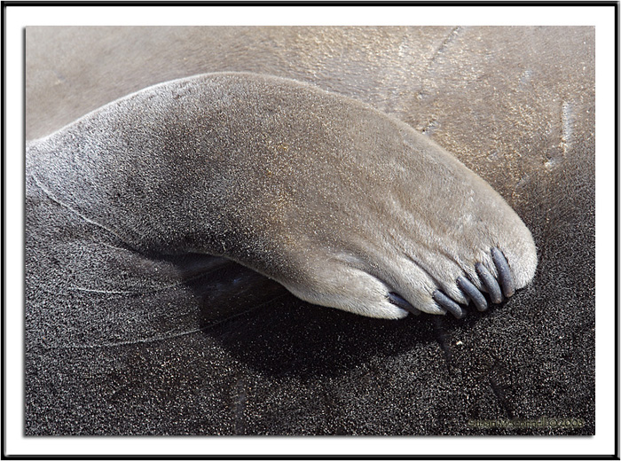Elephant Seal Flipper, Photograph by Susan McConnell, All Rights Reserved