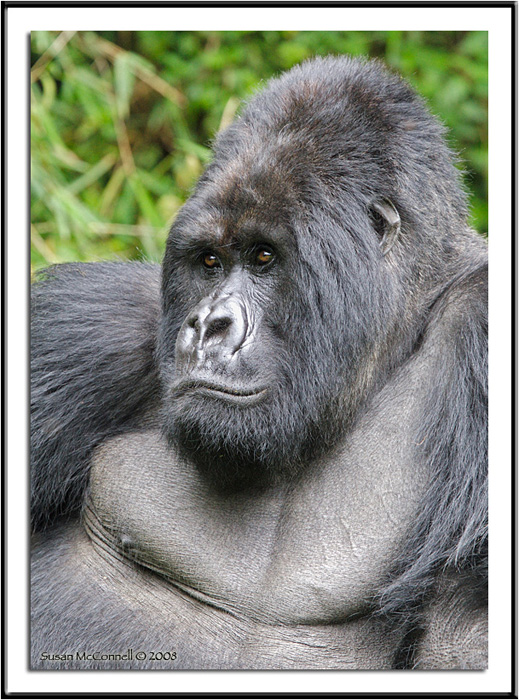 Mountain Gorilla, Photograph by Susan McConnell, All Rights Reserved